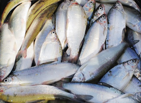 freshwater fish: living freshwater fish peled , background.