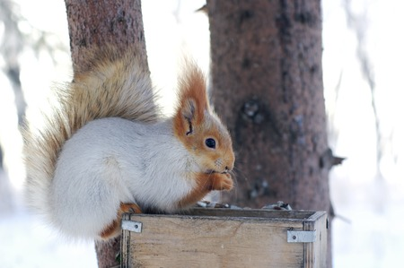 nibbles: Winter gray squirrel sitting on rack and nibbles walnut