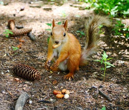 foxy: Foxy squirrel with  walnut in teeth