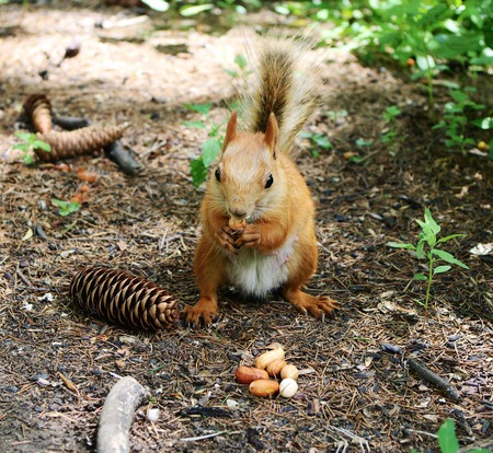 rampant: Foxy squirrel with  walnuts in summer park