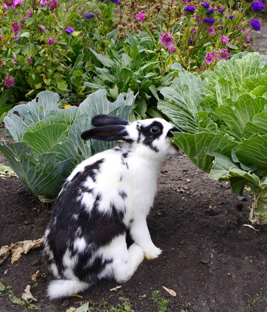 dappled: Dappled rabbit eats cole on cabbage bed