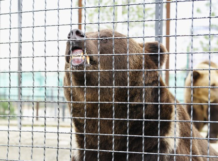 fense: Fierce brown bear grab teeth mesh of fense, Safari Park Taigan, Crimea, Russia Stock Photo