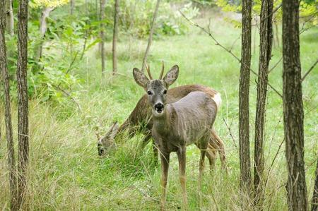 nibble: Deers nibble grass,  Safari Park Taigan Lions Park, Crimea, Russia