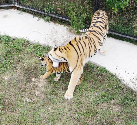tigresa: Cachorro alcance Tigresa, Safari Park Taigan Lions Park, Crimea, Rusia Foto de archivo
