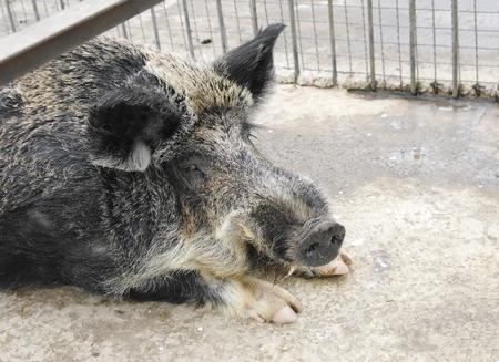 jabali: Cerdo salvaje en el zoológico de cerca, Parque Safari Taigan, Crimea, Rusia