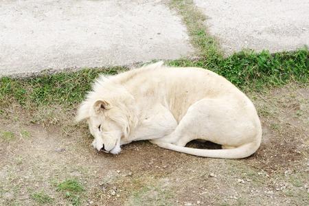 slumbering: Sleeping white lion,  Safari Park Taigan Lions Park, Crimea, Russia
