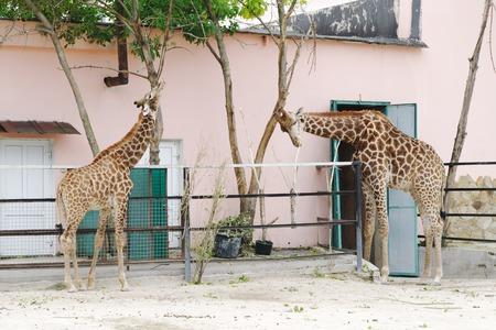 aviary: Giraffes in aviary gnaw bark of trees, Safari Park Taigan, Crimea, Russia