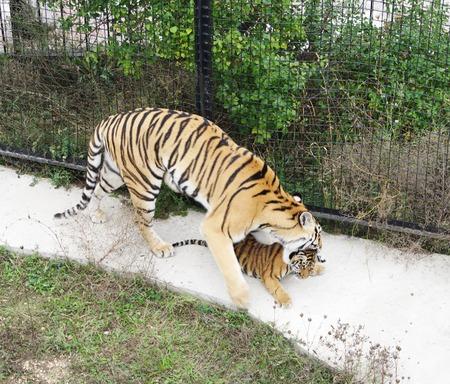 tigresa: Tigresa con el cachorro en un aviario, Safari Park Taigan, Crimea.