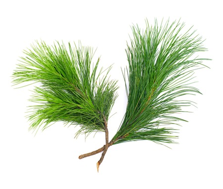 firry: Two coniferous green cedar branches on white isolated Stock Photo