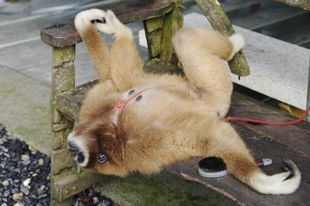 koh samui: Monkey Gibbon lat. Hylobatidae rests on bench, Paradise Park Farm, Koh Samui, Thailand.