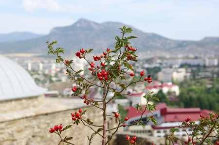 township: Branch of crimean wild rose lat. Rosa with red hips on background of panorama township Sudak, Crimea.