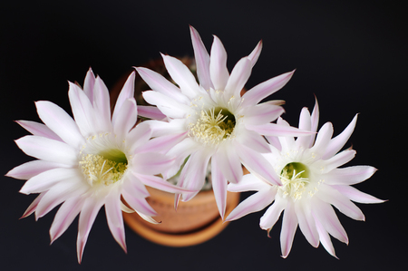 bloomy: top view of blooming cactus Echinopsis Hybrid with three flowers closeup on dark background Stock Photo