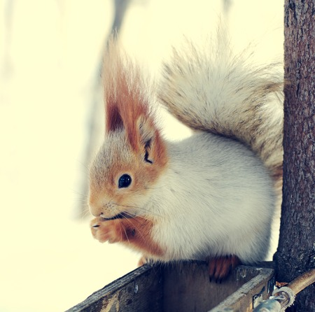 nibbles: winter squirrel sitting on rack and nibbles walnut, closeup, toned