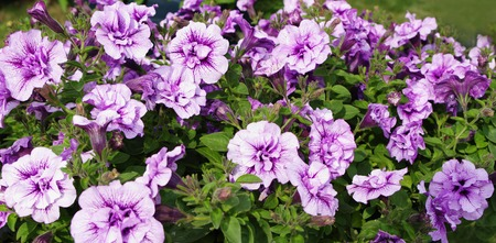 pert: Petunia flowers white with purple streaks color, closeup, local focus, shallow DOF