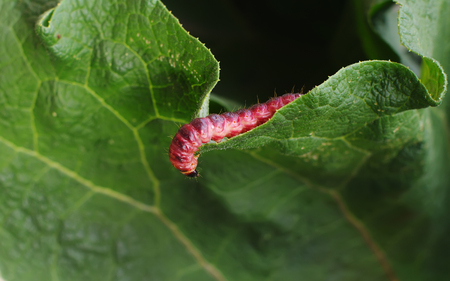 maggot: Red caterpillar odorous woodworm  lat. Cossus cossus on green leaf Stock Photo
