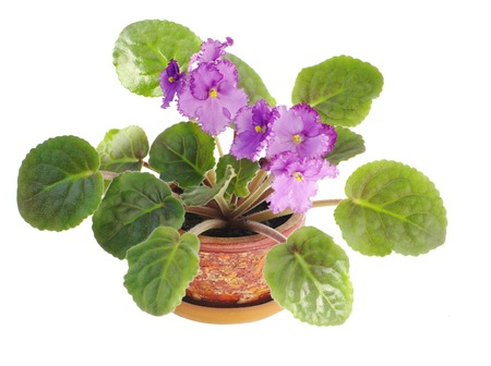 blooming lilac viola in pot on white, isolated