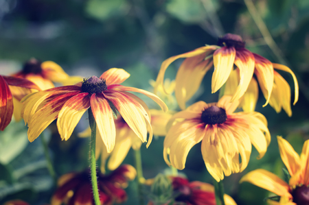 bloomy: cone flowers on flowerbed closeup, local focus, shallow DOF, toned