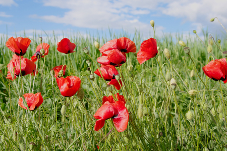 red poppies on green field: crimean steppe red poppies closeup, local focus, shallow DOF