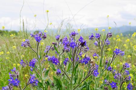 pubescent: blooming steppe plant Volovik azure (Anchusa azurea, Boraginaceae) closeup,  local focus, shallow DOF