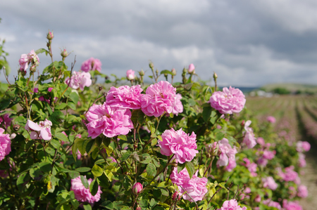 briar: field of blooming crimean pink Damask roses, rose bush closeup, local focus, shallow DOF