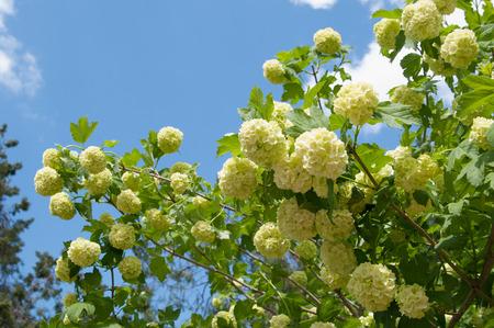 inflorescence: inflorescence of snowball tree (Viburnum buldenezh) closeup Stock Photo