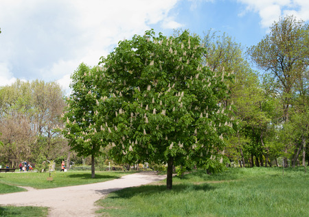 horse chestnut': blooming horse chestnut tree