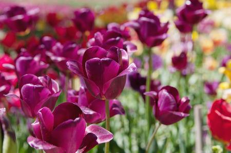 purple tulips on flowerbed, closeup, local focus, shallow DOF