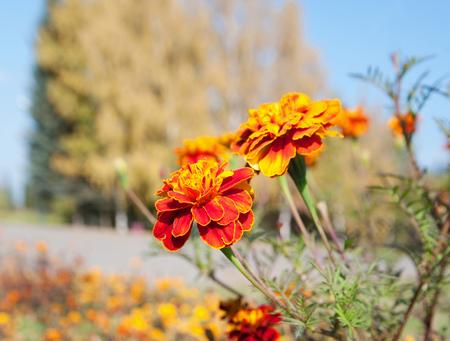 marigold flowers closeup Stok Fotoğraf