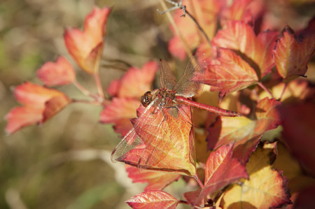 dragonfly on colorful autumn leaves, local focus, shallow DOF