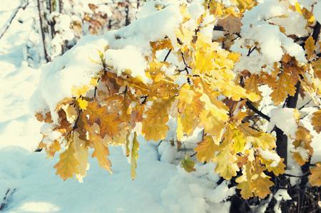 autumn oak leaves under snow, local focus, shallow DOF, toned