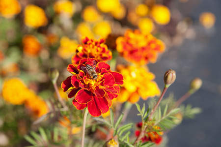 marigolds flower with bee