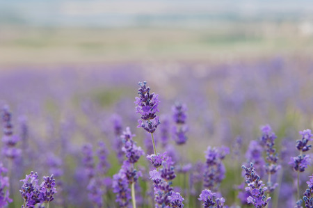 crimean lavender flowers, local focus, shallow DOF