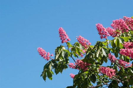 pyramidal: pink flowers of horse chestnut on blue sky background, local focus, shallow DOF Stock Photo