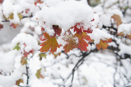 autumn leaves in snow, local focus, shallow DOF