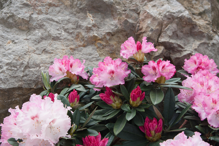 flowers of pink azalea (rhododendron) on stone background, local focus, shallow DOF Stock Photo