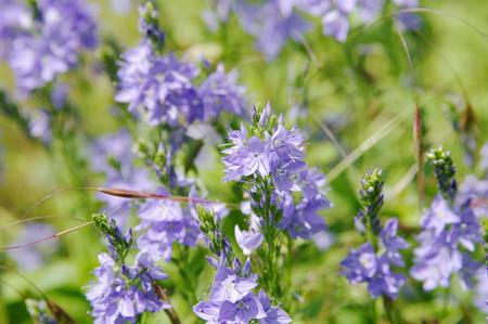flowers of bernice veronika armenian, local focus, shallow DOF