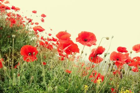red poppy flowers  closeup, toned, local focus, shallow DOF