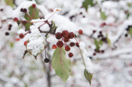 branch of wild apple tree with fruits in snow, local focus, shallow DOF