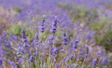 crimean lavender flowers on field background, local focus, shallow DOF
