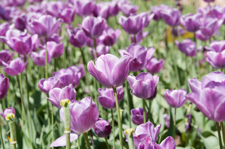 lilas tulips on flowerbed, closeup, local focus, shallow DOF