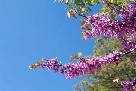 branch of blooming pink cercis tree on blue sky background Stok Fotoğraf