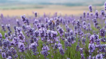 crimean lavender flowers, local focus, shallow DOF