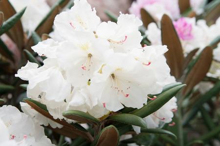 white rhododendron (azalea) flowers