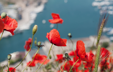 red poppies on Balaklava bay background, Crimea