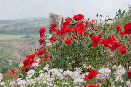 red poppies on Chembalo fortress background, Crimea