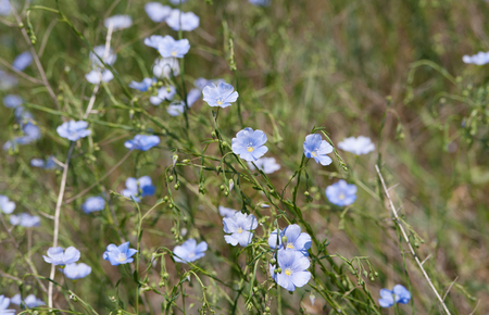 flowers of  blue flax (lat. Linum marschallianum), local focus, shallow DOF