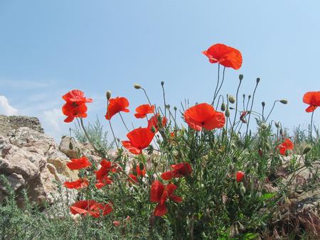 red poppy flowers on blue sky and stone background Stok Fotoğraf