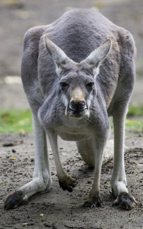 Angry Grey Kangaroo