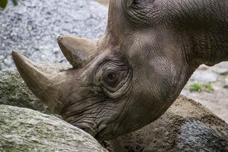 Black Rhinoceros mangiare