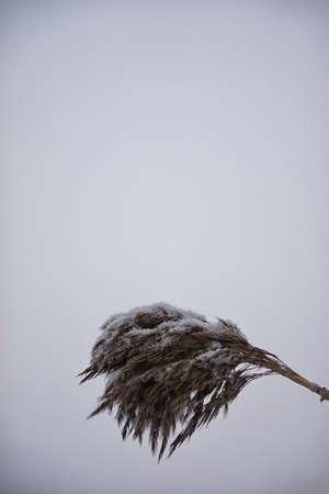 invasive: Invasive Phragmite with snow on it Stock Photo